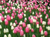 Chậu hoa tulip - cách trồng và chăm sóc