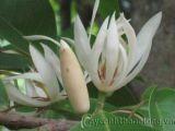 Hoa ngọc lan và một vài điều lưu ý
