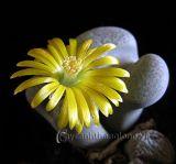 Hoa sỏi, kỳ quan của thiên nhiên