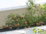 Cách trồng cây che nắng trên sân thượng
