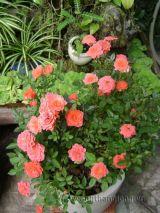 Hoa hồng và những bệnh thường gặp