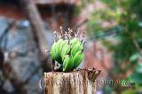 Lạ lùng cây chuối khô cụt  ngọn vẫn mọc nải từ... giữa thân