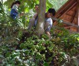 Ngược đời và kì lạ cây đẻ quả chi chít ở gốc
