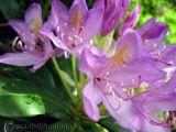 Cây hoa đỗ quyên chữa bệnh