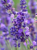 Hoa oải hương ( lavender )  và những điều thú vị