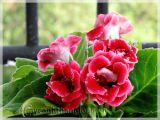 Hoa Chuông tình yêu ( tử la lan) - ngọt ngào quyến rũ