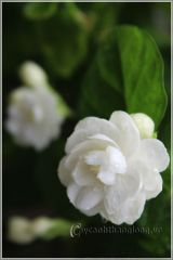 Ngát hương hoa nhài trên ban công