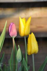 Hoa Tulip rực rỡ đón xuân