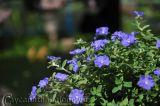 Hoa Thanh tú sắc xanh lam nhẹ nhàng