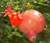 Hoa lựu lập lòe đơm bông