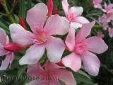 Hoa Trúc đào rực rỡ sắc hoa trong nắng