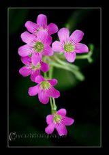 Hoa Me đất mỏng manh xinh xinh