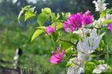 Hoa giấy rực rỡ dưới nắng