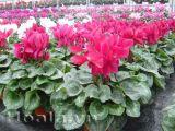 Hoa anh thảo rực rỡ, thơm dịu dàng