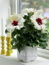 Hoa Dâm bụt lùn món quà ngộ nghĩnh đáng yêu