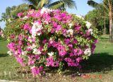 Cách nhân giống và tạo hoa giấy nhiều màu