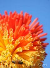 Bông hoa chùm lửa