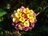 Hoa Ngũ sắc rực rỡ sắc màu