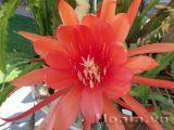 Hoa nhật quỳnh rực rỡ long lanh