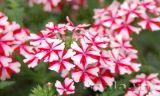 Hoa vân anh rực rỡ dưới nắng