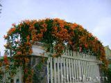 Hoa chùm ớt rực cháy trước cổng nhà
