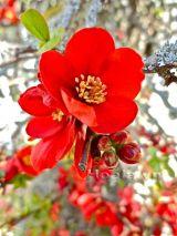Hoa Mai đỏ dịu dàng mang sắc thắm