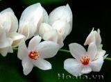 Hoa ti gôn trắng phảng phất hương mạ non