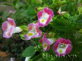Hoa Tô liên ( mõm chó) xinh xinh