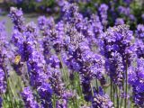Mùa Lavender  ( oải hương ) nồng nàn yêu thương