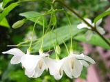 Tinh khôi và nồng nàn hoa Mai chiếu thủy