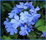 Hoa Thanh xà sắc xanh dịu mát
