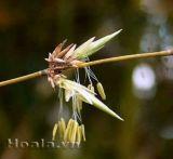 Hoa tre - bi hùng một loài hoa