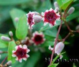 Hoa mơ - chiếc loa nhỏ xinh
