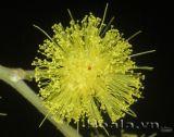 Vàng óng sắc hoa Mimosa