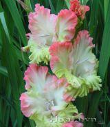Sắc hoa lay ơn rạng rỡ