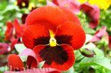 Hoa pensee - Những cánh bướm dập dìu