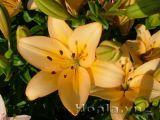 Hoa lily - ý nghĩa những màu hoa