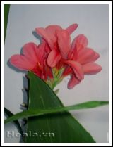 Hoa chuối cảnh - vẻ đẹp bất ngờ