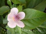 Hoa điều nhuộm dịu dàng