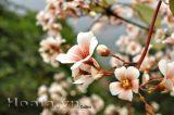 Nao lòng hương hoa trẩu nơi núi rừng Tây Bắc