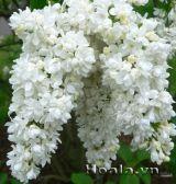 Hoa tử đinh hương tuyệt đẹp, hương thơm ngây ngất