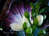 Hoa Bàng Vuông -