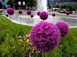 Quả cầu hoa màu tím