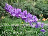 Hoa phi yến rực rỡ yêu kiều