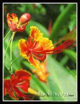 Hoa Điệp sắc đỏ