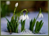 Hoa Giọt tuyết long lanh