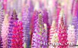Hoa lupin những ngọn đuốc rực rỡ