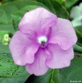 Hoa Nhài Nhật ngát hương quanh năm