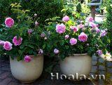 Chậu hoa hồng rực rỡ sắc màu, ngát hương thơm