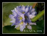 Hoa rau mác xanh ngọc ngà